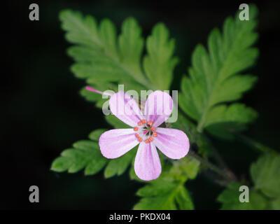 Herb Robert flower, Geranium robertianium - Stock Image