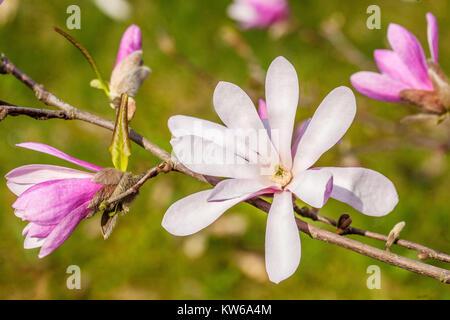 Magnolia x loebneri ' Leonard Messel ' - Stock Image
