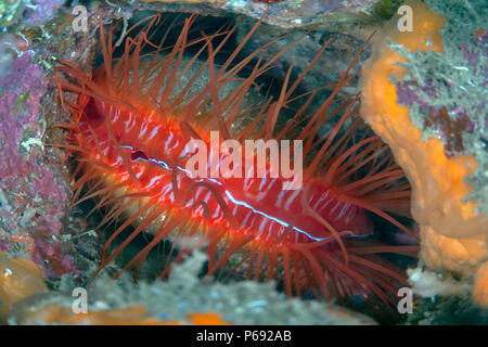 Electric Flame Scallop or Disco Clam (Ctenoides ales). Lembeh Straits, Indonesia.` - Stock Image