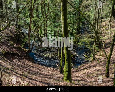 Small creek Alfbach near Strohn,  forest, spring, near Daun, Eifel landscape, Germany - Stock Image