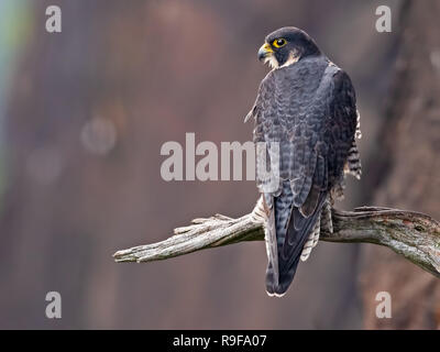 Peregrine Falcon sitting on Branch - Stock Image