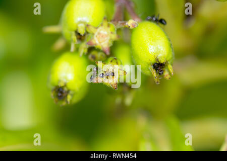 A colony of black worker ants on top of bright green plant buds in macro detail. - Stock Image