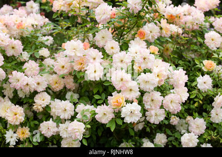 Rambling Rose in an English garden. - Stock Image