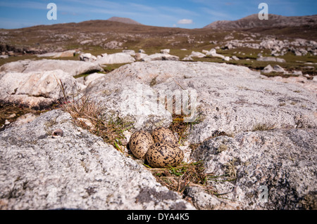 Oyster Catcher nest and eggs on exposed ground - Stock Image
