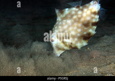 Humpback Turretfish (Tetrosomus gibbosus) Stirring up Bottom Sand in Search for Food. Anilao, Philippines - Stock Image