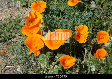 California poppies in Antelope Valley. Digital photograph - Stock Image