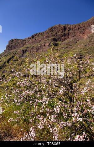Almond tree on Gran Canaria, Canary Islands - Stock Image