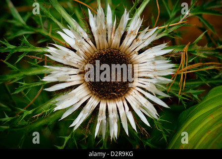 Large White Flower of the Alpine Silver Thistle - Carlina acaulis L., Asteraceae. (Alps). - Stock Image