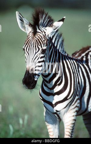 Zebra Calf - Stock Image
