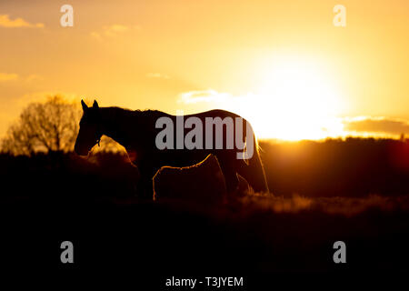 Ashford, Kent, UK. 10th Apr, 2019. UK Weather: The sun sets after a lovely sunny day in Ashford, Kent as this horse silhouetted by the sun grazes in a field. © Paul Lawrenson 2019, Photo Credit: Paul Lawrenson/ Alamy Live News - Stock Image