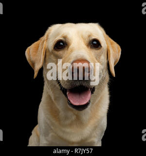 Funny Portrait of Labrador retriever dog Smiling and Looking in camera on isolated black background, front view - Stock Image