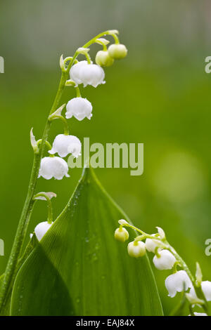 The lilies of the valley, small white flowers, macro - Stock Image