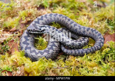An Adder (Vipera berus), Britains only poisonous snake curled up on some woodland moss. - Stock Image