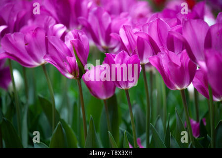 Many purple crimson tulips in the garden. The flowers have filled the frame. - Stock Image