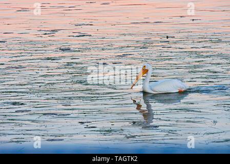 American white pelican (Pelecanus erythrorhynchos) on Lake of the Woods at dawn Nestor Falls Ontario Canada - Stock Image