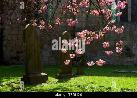 Pink blossom in the churchyard of St Andrew's Church, Bainton, East Yorkshire, England UK - Stock Image