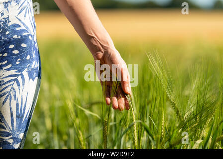 Woman running her hand through ripening wheat in a field, close up. - Stock Image