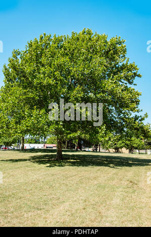 An American Sycamore tree, Platanus occidentalis, during summer in Wichita, Kansas, USA. - Stock Image