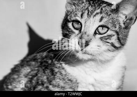 Black and white image of tabby cat imaging looking towards the sun - Stock Image