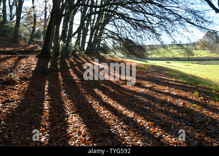 Strong Autumn sunlight creates dense shadows from the old beech trees on the edge of a wood in Wiltshire.UK - Stock Image