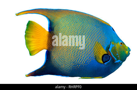 Close up image of queen angelfish on white background - Stock Image