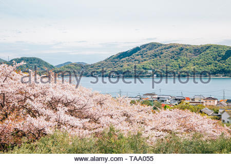 Pink cherry blossoms and seaside village at Shodoshima Olive park in Shikoku, Japan - Stock Image