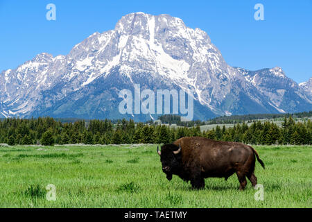 A bison in a field with Mt. Moran in the background in Grand Teton National Park near Jackson Hole, Wyoming USA. - Stock Image