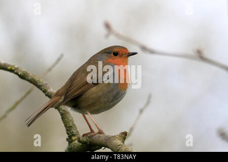European robin, Erithacus rubecula, robin redbreast perched on a twig, England, UK. - Stock Image