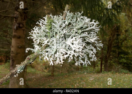 Three moss Parmelia furfuracea on a conifer twig - Stock Image