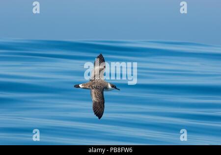 Great shearwater (Puffinus gravis) in flight, Fonte da Telha Beach, Portugal, October. - Stock Image