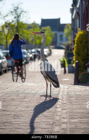 Leiden, Holland - April 20, 2019: Grey heron standing in the street of Leiden looking for food - Stock Image