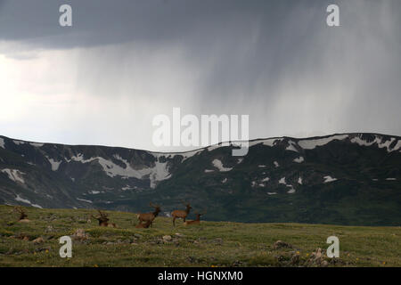 Bull elk in storm on Rocky Mountain National Park ridge Colorado - Stock Image