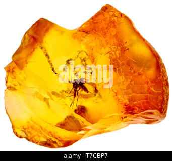 Prehistoric fly in Baltic amber - Stock Image