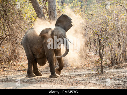 African Bush Elephant with a hernia,  dust bathing, South Luangwa, Zambia - Stock Image
