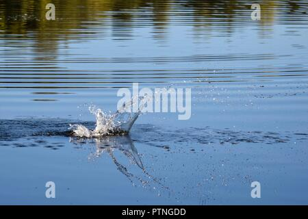 Missed the fish but splash on still water - Stock Image