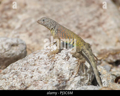 Portrait of a male greater earless lizard in the Sonoran Desert of Arizona, USA. - Stock Image