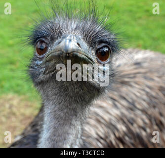 An Emu, native to Australia, at the Cotswold Wildlife Park, Burford, Oxfordshire, UK - Stock Image