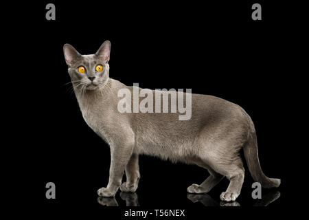 Funny Gray Cat Burmese walk of full length and curious stare with fear eyes on isolated black background, side view - Stock Image