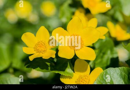 Marsh Marigold flowering in a garden pond, cheshire, UK - Stock Image
