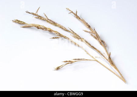 Turnip Rape (Brassica rapa ssp. oleifera), stalks with seed pods, studio picture. - Stock Image