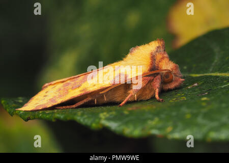 Pink-barred Sallow moth (Xanthia togata) at rest on leaf. Tipperary, Ireland - Stock Image