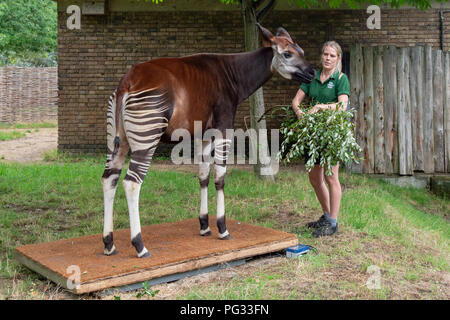 London, United Kingdom. 23 August 2018. Annual weigh-in records animals' vital statistics at ZSL London Zoo. PICTURED: Okapi Credit: Peter Manning/Alamy Live News - Stock Image