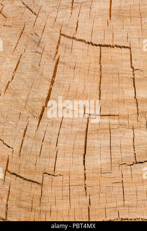 Splits, cracks and fissures in sawn end of a tree. - Stock Image