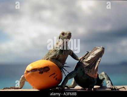 Caribbean, Lizards / Iguanas in Bonaire - Stock Image