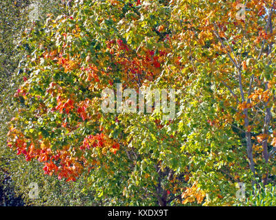 Maple tree with autumn colored leaves close up - Stock Image