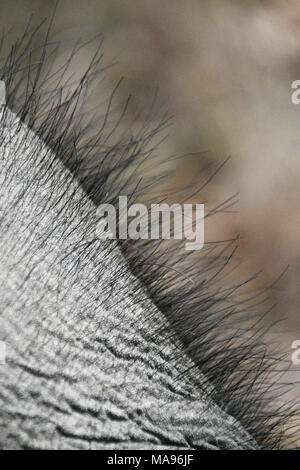 Detail close-up of hair on the head of an Asian Elephant, Elephas maximus, Bandhavgarh National Park, Madhya Pradesh, India - Stock Image