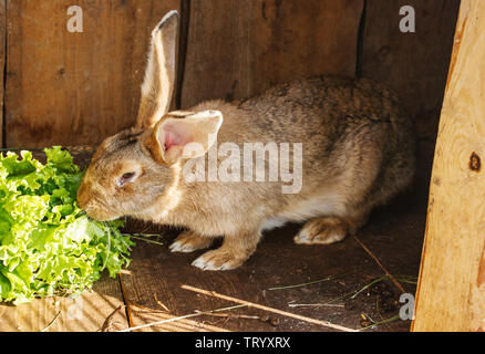 young rabbit in a cage on private farm in russian village - Stock Image