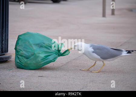Seagull attacking a bad of garbage for food. Illustration of the human impact on animals that now depend on these sources - Stock Image