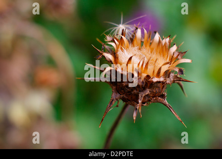 Silybum marianum, Carduus marianus - Dried Milk Thistle Crown. Also known as Blessed Milk Thistle, Our Lady's/St - Stock Image