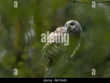 USA, Washington State. Barred Owl (Strix varia), seen through foliage, perches in forested park in Seattle. - Stock Image